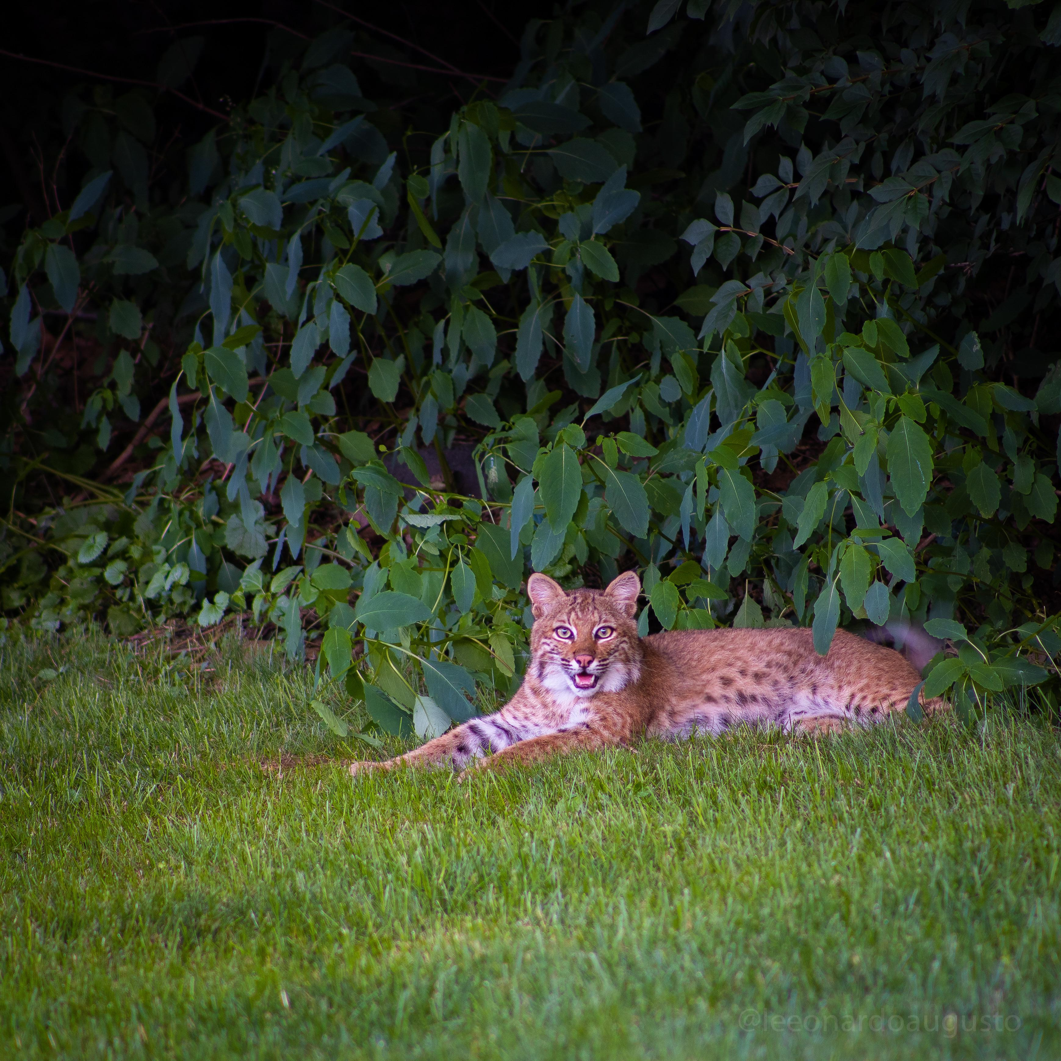 00-Wallingford-bobcat.jpg