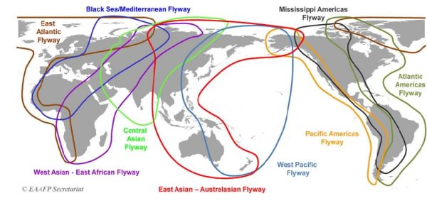 Study: Hunters Kill Birds During Their Annual Migrations Through the East Asian-Australasian Flyway 1