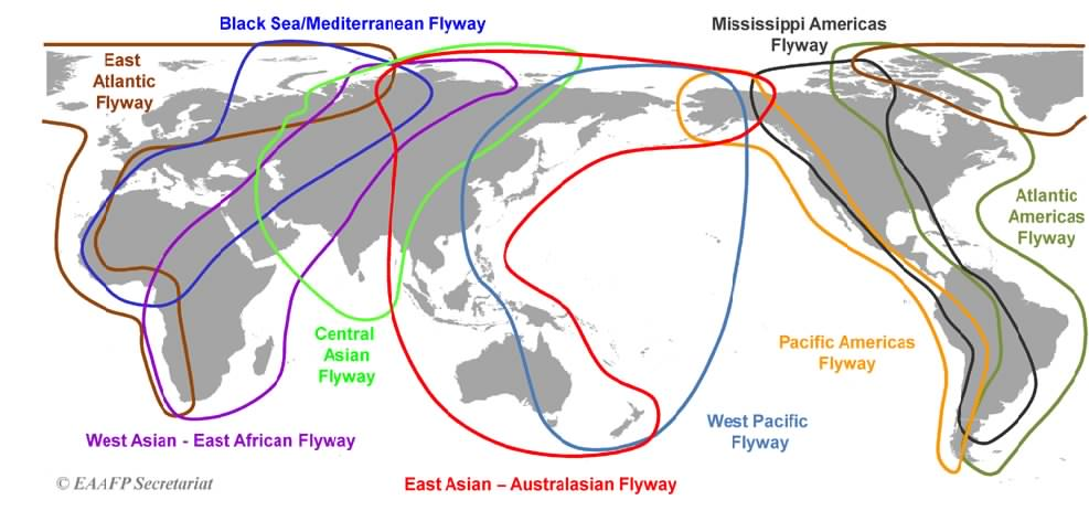 Study: Hunters Kills Birds During Their Annual Migrations Through the East Asian-Australasian Flyway 2