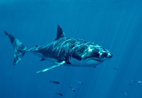 Sharks: The Ultimate Keystone Species?